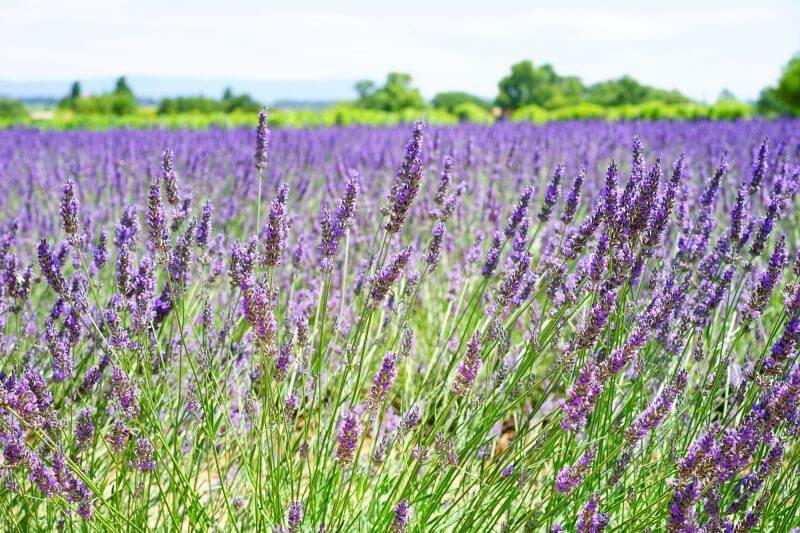Virginia Farm - Lavender