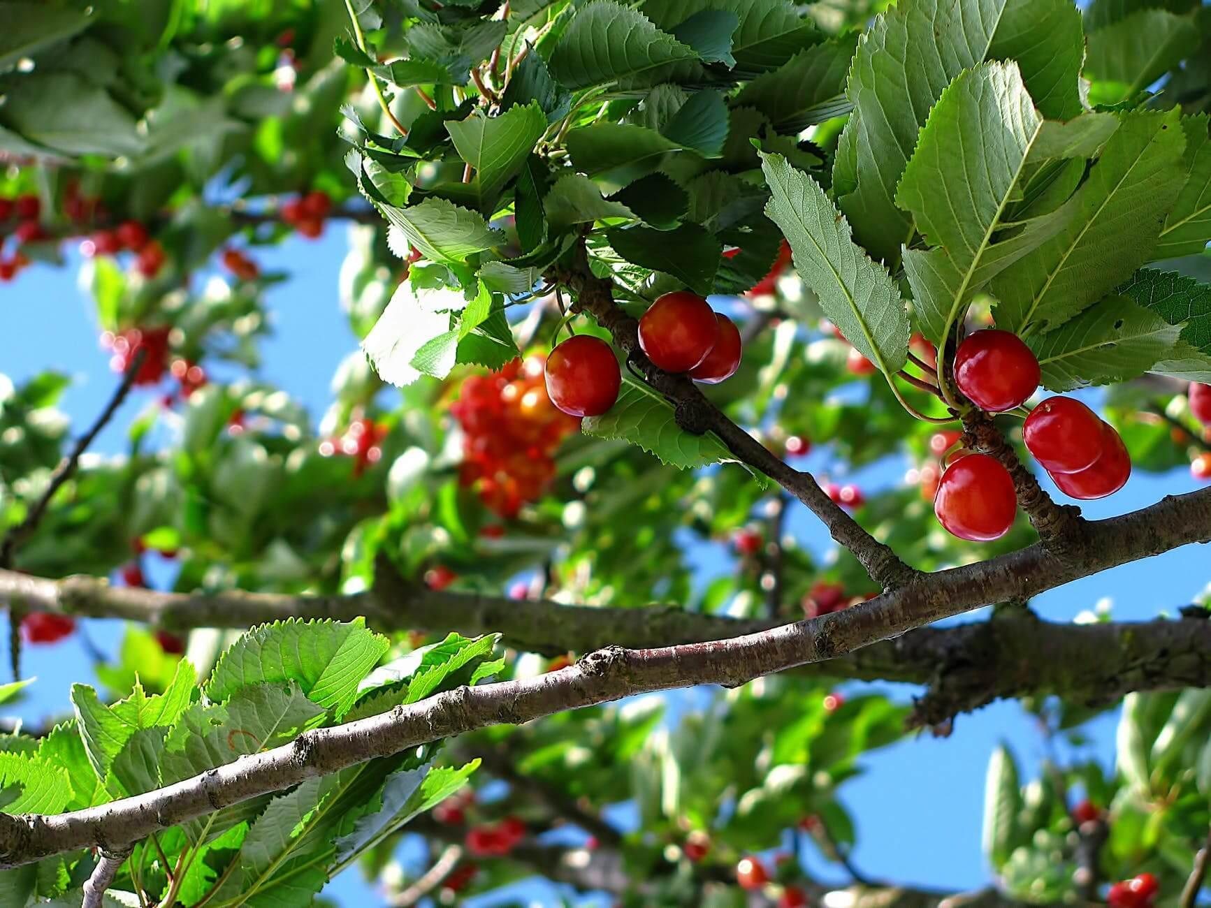 Fruit Trees In Virginia